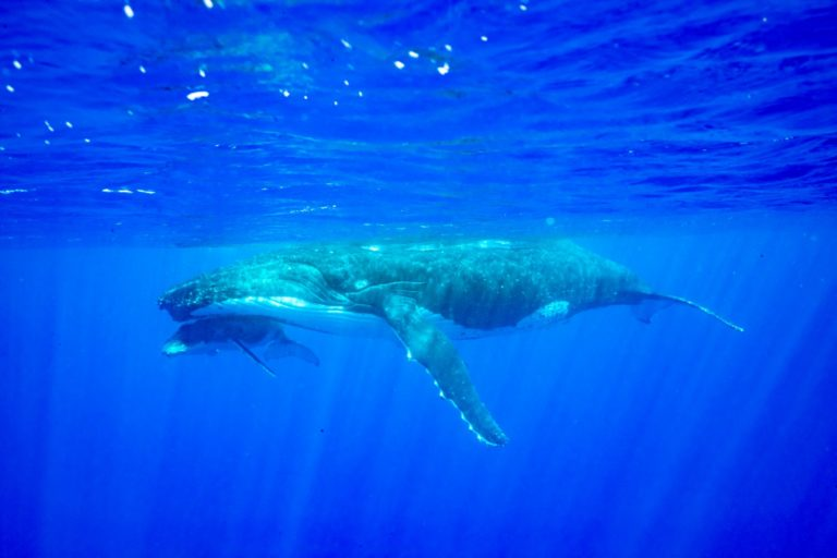 The Guide to the Whale Season in Niue